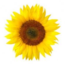 sunflower mindfulness spain